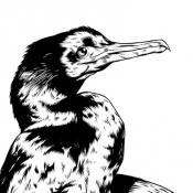 cormorant_skull